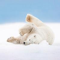Polar bear rolls in the snow on an island in the Beaufort Sea on Alaska's arctic coast.
