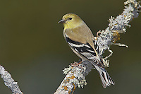 American Goldfinch - Carduelis tristis - Adult non-breeding