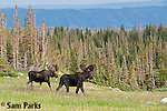 Two bull moose in velvet. Snowy Range Mountains, Wyoming.