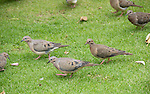 Eared Doves, Zenaida auriculata, in Plaza Grande, Quito, Ecuador