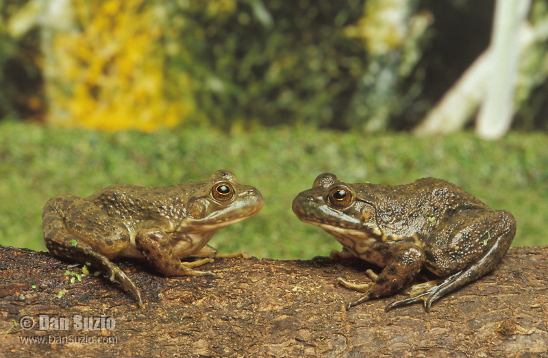 American bullfrogs, Rana catesbeiana, Northern California. Native to the Eastern United States, bullfrogs were introduced and have become established west of the Rockies. Bullfrogs are large, aggressive predators and prolific breeders, and have been a factor in declining native frog populations in many areas of the West. Captive frogs photographed in studio.