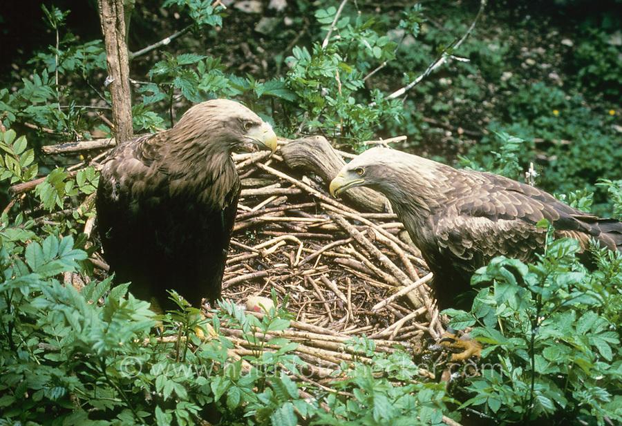 Seeadler, See-Adler, Paar, Pärchen am Nest, Horst, Haliaeetus albicilla, white-tailed eagle, Adler,