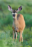 625250016 a wild mule deer odocoileus hemionus grazes and wanders about a meadow in bryce canyon national park utah united states