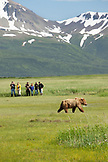 ALASKA, Homer, a group of hikers view a grizzly bear, Katmai National Park, Katmai Peninsula, Hallow Bay, Gulf of Alaska