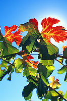 autumn vineyard vine leaf close up Napa Valley California