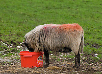 Swaledale ewe eating high energy feed from a bucket, Lee, near Lancaster, Lancashire....Copyright John Eveson 01995 61280.j.r.eveson@btinternet.com