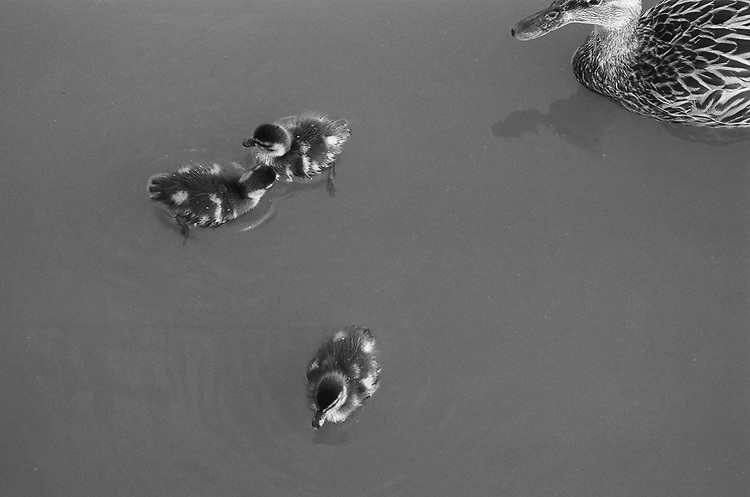 Ducks, Ilford Delta Film