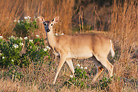 White-tailed Deer (Odocoileus virginianus), doe, Sinton, Corpus Christi, Coastal Bend, Texas, USA