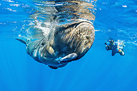 Underwater photographer in front of a sperm whale, Physeter macrocephalus, The sperm whale is the largest of the toothed whales Sperm whales are known to dive as deep as 1,000 meters in search of squid to eat Image has been shot in Dominica, Caribbean Sea, Atlantic Ocean Photo taken under permit #RP 16-02/32 FIS-5