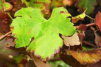 Domaine d'Aupilhac. Montpeyroux. Languedoc. Vine leaves. Carignan . France. Europe.