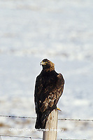 00788-00212 Golden Eagle (Aquila chrysaetos) on fence post in winter   WY