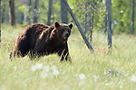 European Brown Bear, Ursus arctos arctos, Kuhmo, Finland, Lentiira, Vartius near Russian Border, foraging in forest, early morning