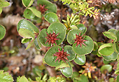 Dwarf Willow - Salix herbacea