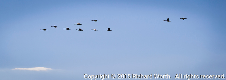 Eight Canada geese flying in formation over San Francisco Bay while two lag behine.  The collective noun for a group of geese flying in a V formation is a wedge - a wedge of geese.