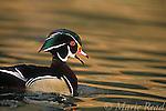 Wood Duck (Aix sponsa) male calling, Orange County, California, USA<br /> Slide # B24-2212