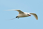 A red-tailed tropicbird (Phaethon rubricauda) in flight at the Kilauea Point National Wildlife Refuge, Kauai, Hawaii