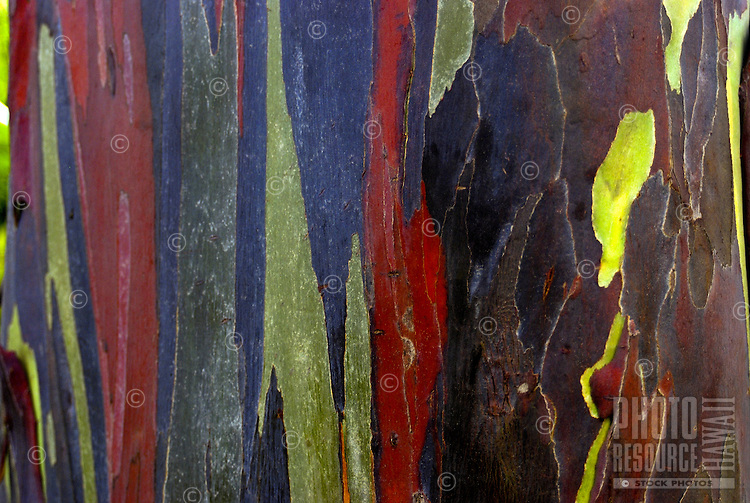 Close-up of the rainbow bark of the eucalyptus tree, (eucalyptus deglupta), introduced to Hawaii from the Philippines in 1929. Located on the grounds at the main visitor center of the National Tropical Botanical Garden near Poipu, Kauai.
