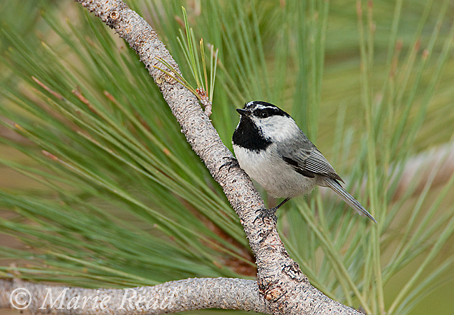 Mountain Chickadee (Poecile gambeli), perched in Jeffrey Pine, Mono Lake Basin, California, USA