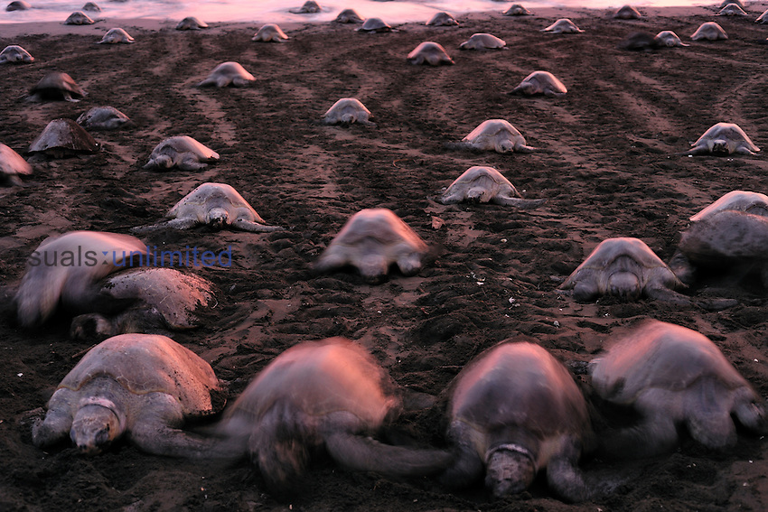 The arrival of Olive Ridley Sea Turtles (Lepidochelys olivacea) at the beach of Ostional, Costa Rica, Pacific Ocean, for an arribada or mass nesting event when thousands of the 50 kilogram reptiles come ashore over a period of up to a week, only interrupted by the hottest midday sun, to bury their eggs in the warm sand.
