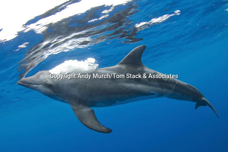Rough-toothed Dolphin, Steno bredanensis, Caribbean Sea, Utila, Bay Islands, Honduras, Central America.