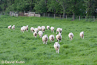 0512-0901  Herd of Sheep Running in Pasture, Dorset Ewes, Ovis aries  © David Kuhn/Dwight Kuhn Photography