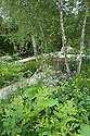 Multi-stemmed silver birches underplanted with woodland wildflowers and ferns. Plants include Red campion, Meadow buttercup, and Hairy chervil. The Telegraph Garden, designed by Sarah Price, RHS Chelsea Flower Show 2012.