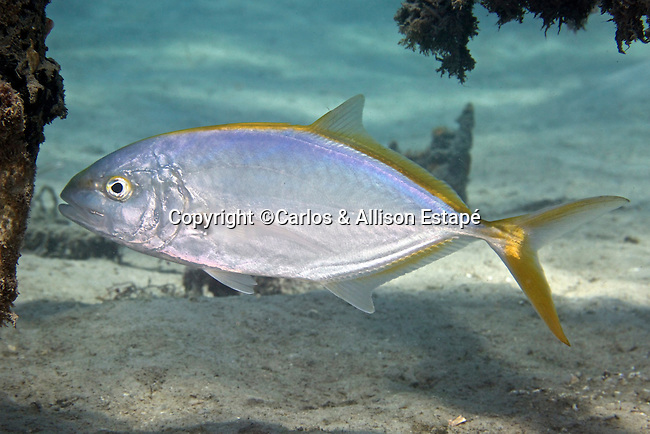 Carangoides bartholomaei, Yellow jack, Blue Heron Bridge, Florida
