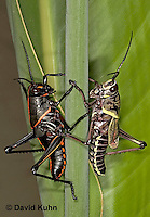 0721-07xx  Eastern Lubber Grasshoppers - Romalea guttata  Nymph and adult  © David Kuhn/Dwight Kuhn Photography