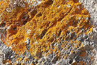 Orange Lichen [ Xanthoria parietina ] on limestone rock
