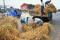 Farmers loading rice for processing