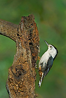 561250017 a wild white-breated nuthatch sitta carolinensis tenussuma perches on a branch in madera canyon green valley arizona united states