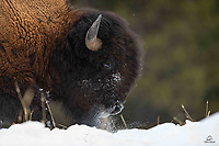 Bull Bison (Bison Bison) uses his massive head to move the snow out of the way, exposing the grass underneath.