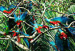 Red & Green Macaws, Ara Chloroptera, group in flight, Manu, Peru, flying from palm trees, Amazonia Jungle. .Peru....