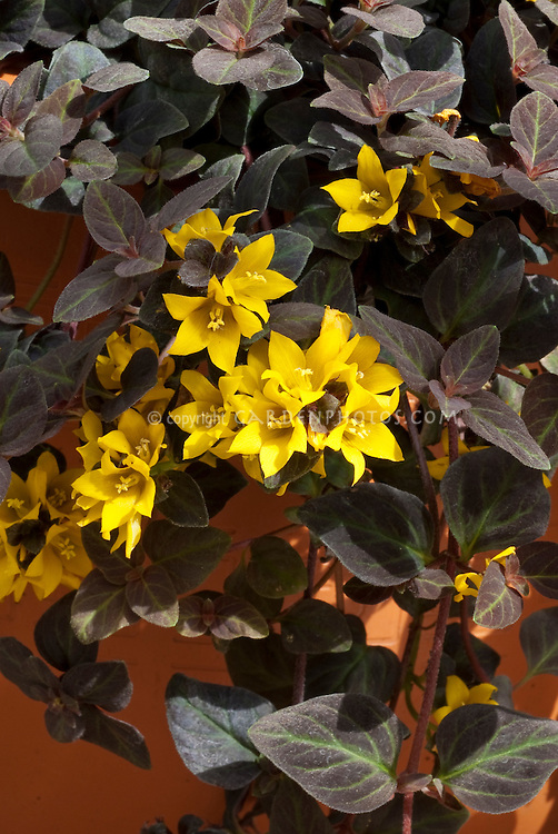 Lysimachia congestiflora Midnight Sun in flower with gold yellow blooms and dark purple black foliage leaves