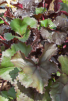Purple and green foliage of Ligularia 'Britt Marie Crawford'