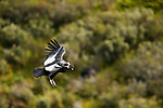 Andean Condor (Vultur gryphus) male flying, Torres del Paine National Park, Patagonia, Chile