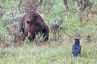 A grizzly bear and common raven in Yellowstone National Park.
