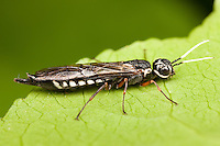Xiphydriid Wood Wasp (Xiphydria maculata) - Female, West Harrison, Westchester County, New York