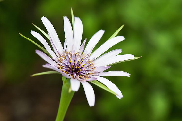 The flower of salsify (Tragopogon porrifolius), late May.