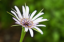The flower of salsify (Tragopogon porrifolius), late May.