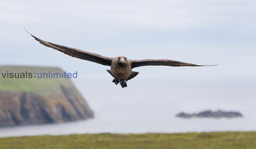 Skua in flight (Catharacta antarctica), Fair Isle, Scotland