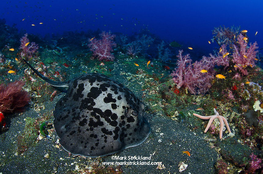 Black-blotched Stingray, Taeniura meyeni, possibly pregnant, resting on volcanic substrate at Black Magic, Barren Island.  Andaman Islands, India, Andaman Sea
