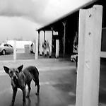 A stray dog on Saturday, July 12, 2008 in Quijotoa, AZ.
