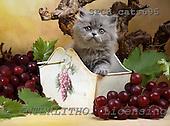 Xavier, ANIMALS, cats, photos, SPCHCATS695,#A# Katzen, gatos