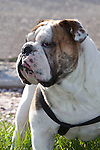Bulldog in the park with a harness, backlit