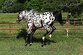 Bob, ANIMALS, REALISTISCHE TIERE, ANIMALES REALISTICOS, horses, photos+++++,GBLA4396,#a#, EVERYDAY