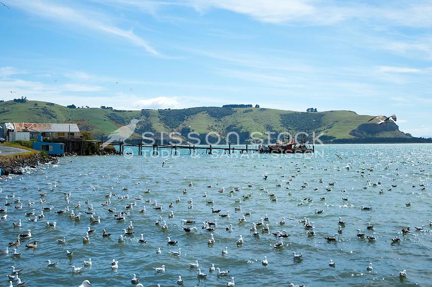 Seagulls on the water, Otago Harbour, Dunedin