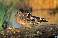 Wood Duck (Aix sponsa) drake and hen in breeding season, Spring, southern British Columbia, Canada.