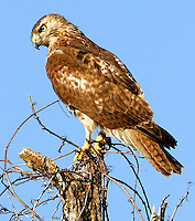 Juvenile red-tailed hawk in tree