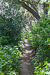A narrow path through verdent foliage in spring at the Santa Barbara Botanic Garden; Santa Barbara; Santa Barbara County; California; CA; USA